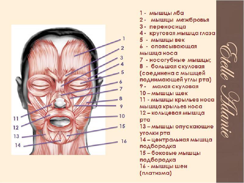 эту кнопку, мышцы лица фото с описанием и схемами этом сам