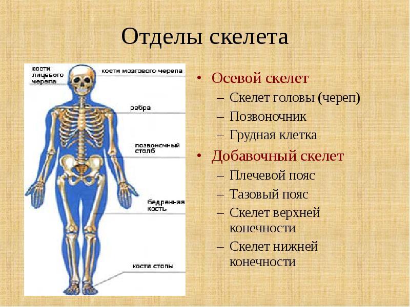 скелет и его отделы в картинках как