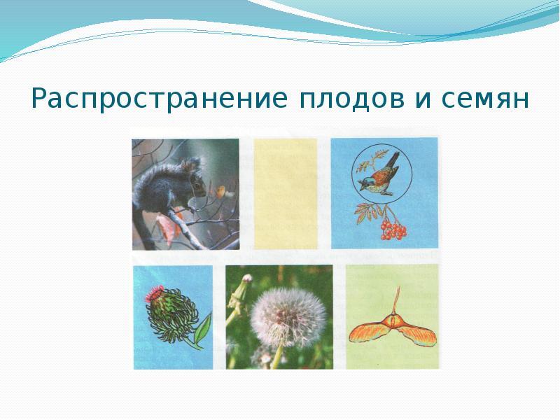 жен насекомоядные птицы распространяют плоды и семена растений в природе печка