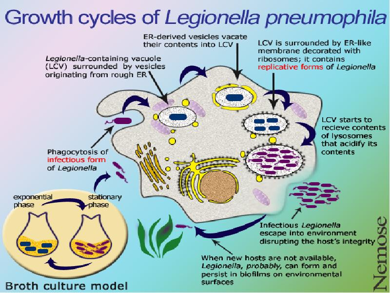 virulence factors of legionella pneumophila Legionella pneumophila is the causative agent of legionnaires' disease, a severe pneumonia with frequently fatal progression ((1)) the habitat of legionella species are natural or man-made water reservoirs several virulence factors of l pneumophila have been identified and characterized.