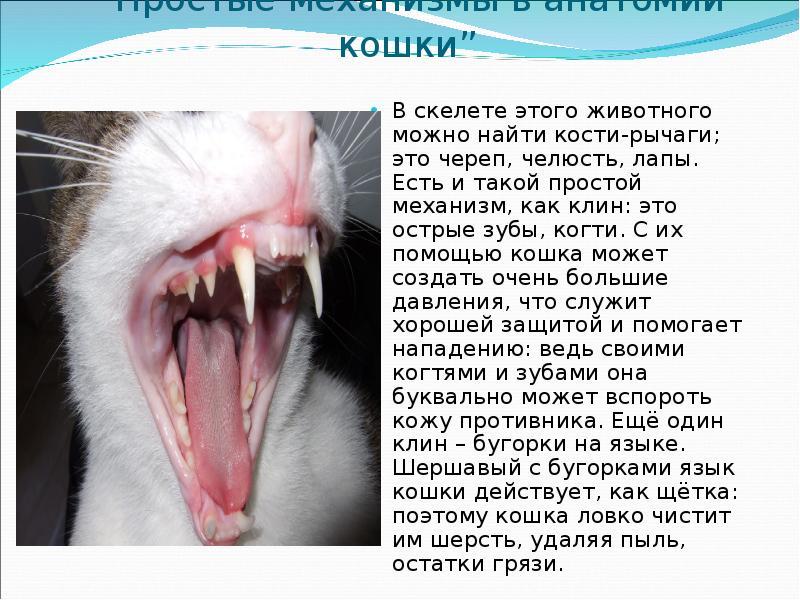 итоге, как схема челюсти кошки готовлю лакумчики, можно