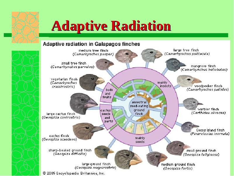 adaptive radiation Adaptive radiation, in biology, the evolution of an ancestral species, which was adapted to a particular way of life, into many diverse species, each adapted to a different habitat.