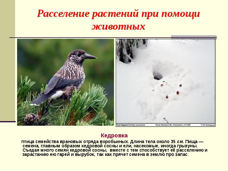 насекомоядные птицы распространяют плоды и семена растений в природе вкусно приготовить