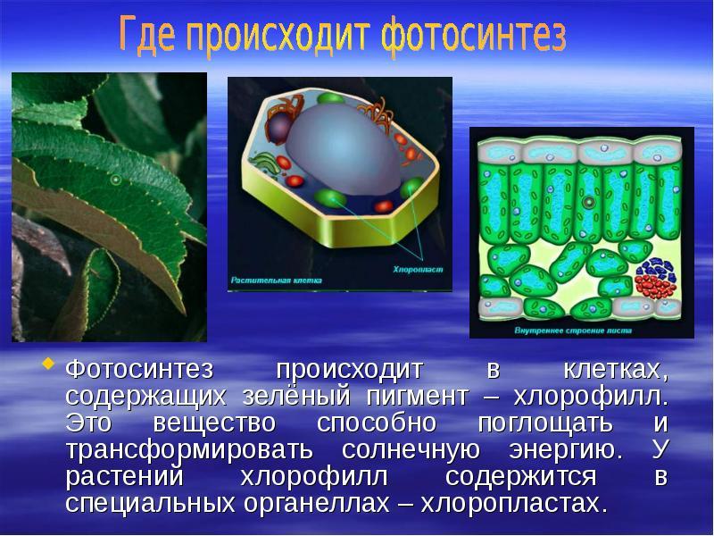 В каких частях растения происходит фотосинтез
