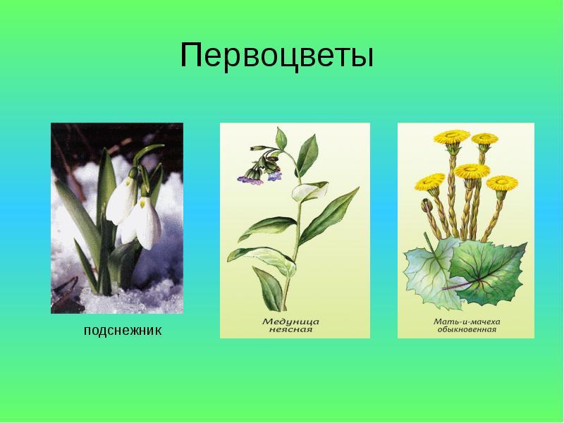 Название первоцветов с картинками