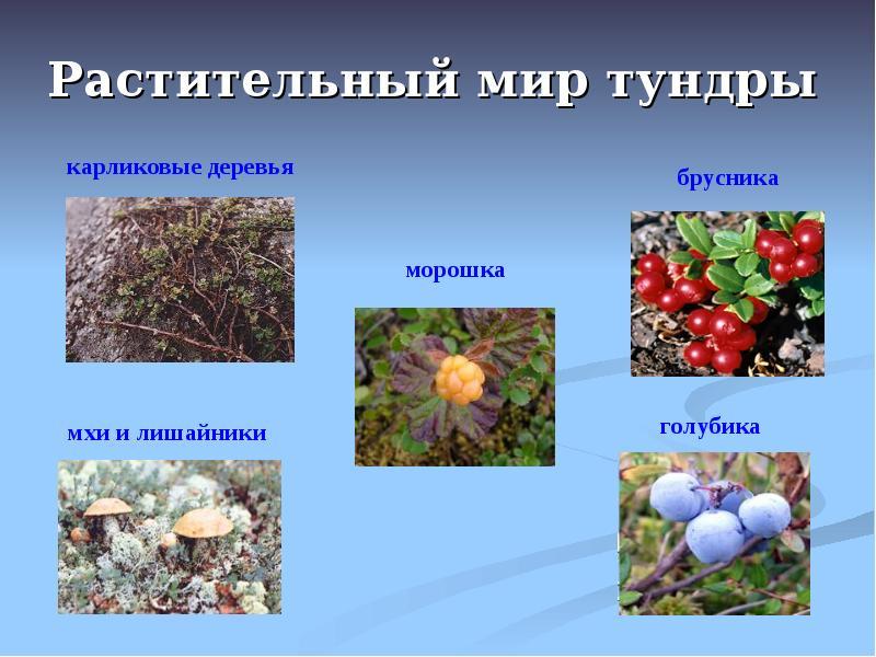 данной ситуации растения тундры фото и описание вариант