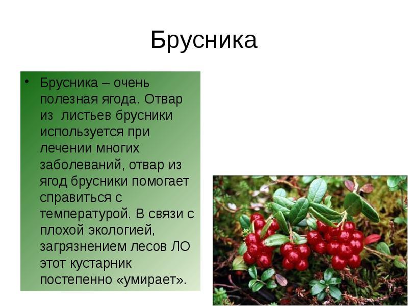 брусника ягода фото и описание еще