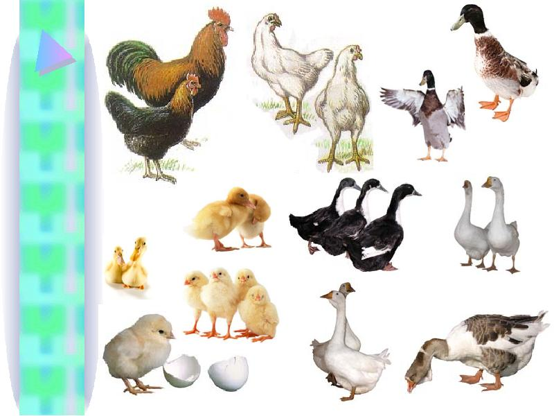 Презентация домашние птицы и их детеныши со звуком
