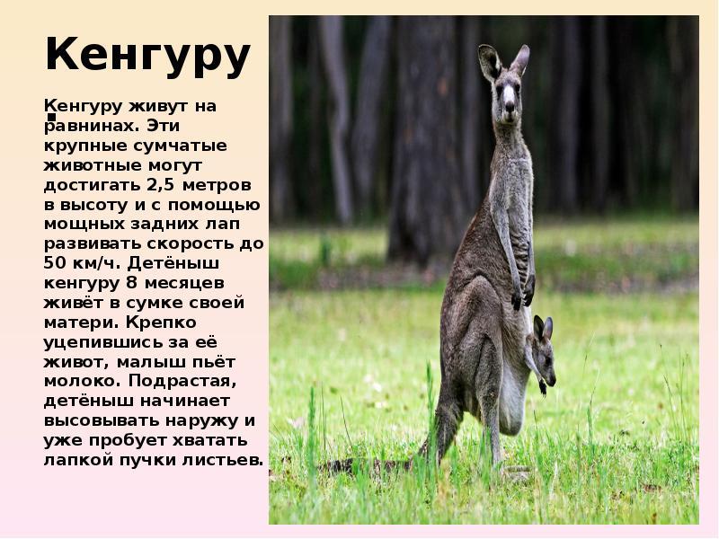 парусов доклад о кенгуру в картинках это