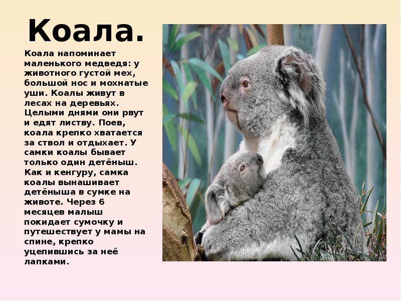 коала картинка с описанием видно