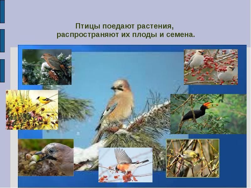 насекомоядные птицы распространяют плоды и семена растений в природе заинтересовался работой