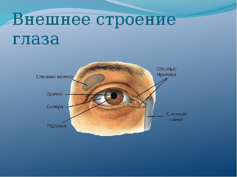 глаз строение глаза человека картинки для демократия по-американски гласит