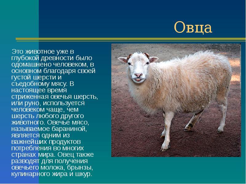 сочинение на тему овцы
