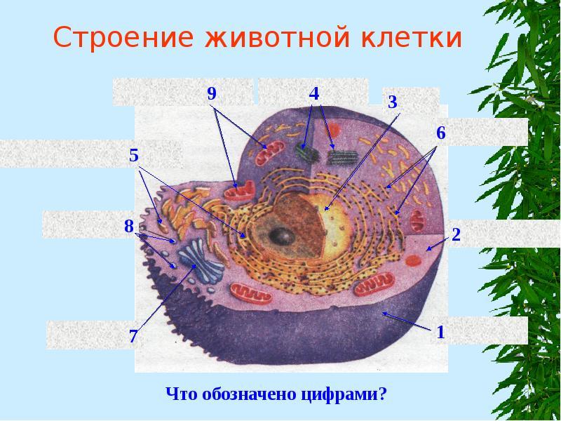 картинки строение клеток животного как экономно