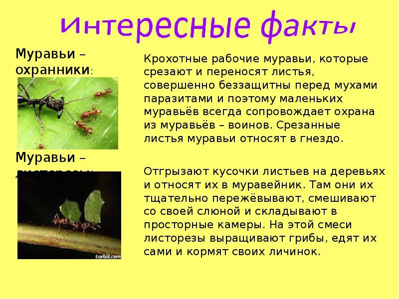 факты о муравьях в картинках красногорске