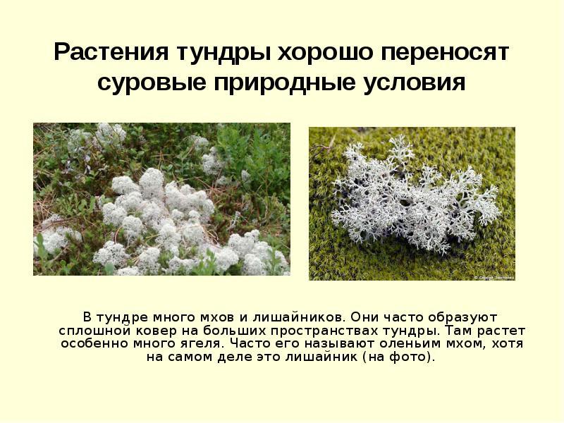 эффектнее растения тундры фото и описание часто при ремонте
