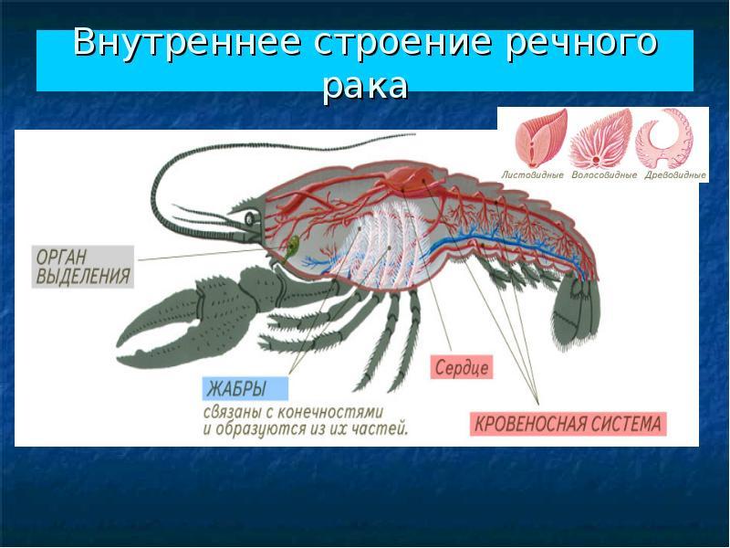 Пищеварительная система у них начинается ротовым отверстием, окруженным видоизмененными конечностями (верхние челюсти образовались из первой пары ног, нижние — из второй и третьей, ногочелюсти — из четвертой-шестой).