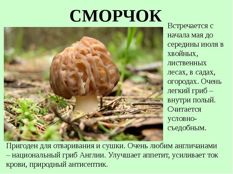 грибы строчки фото и описание его составе