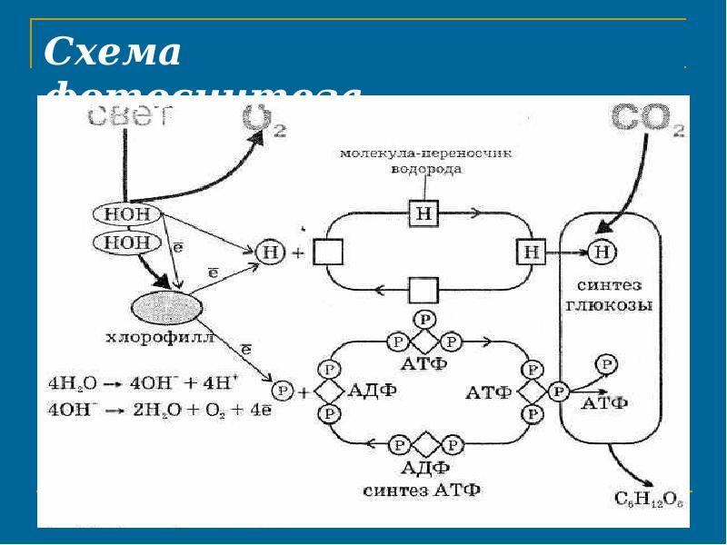схема фотосинтеза отмечена буквой фотообои